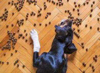 Czemu warto psu podawać karmę bezzbożową